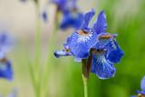 Beautiful blue iris flower