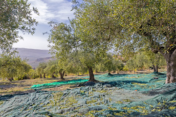 olive grove in the day of the olive harvest