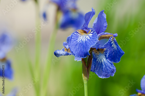 Beautiful blue iris flower