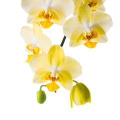 Blooming branch of yellow orchid, phalaenopsis is isolated on wh