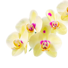 Branch of blooming beautiful yellow with purple spots orchid flo