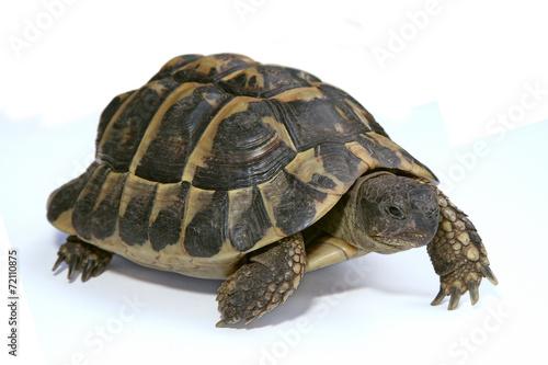 Papiers peints Tortue tortue d'Hermann