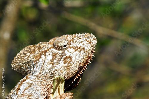 Staande foto Kameleon Oustalet's Chameleon (Furcifer Oustaleti) - Rare Madagascar Ende