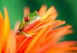 canvas print picture - Rotaugenlaubfrosch auf oranger Blüte