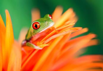Rotaugenlaubfrosch auf oranger Blüte