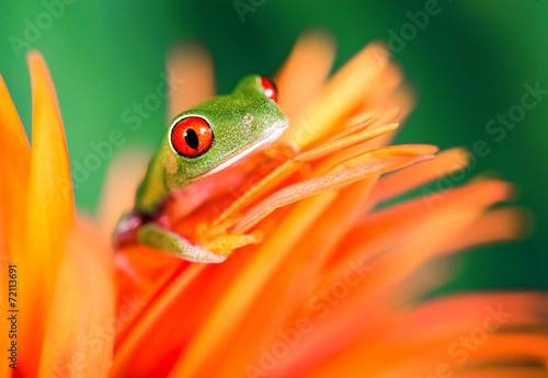 In de dag Kikker Rotaugenlaubfrosch auf oranger Blüte
