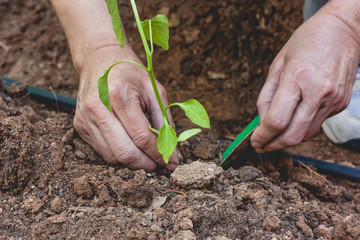 Hands planting a pepper seedling
