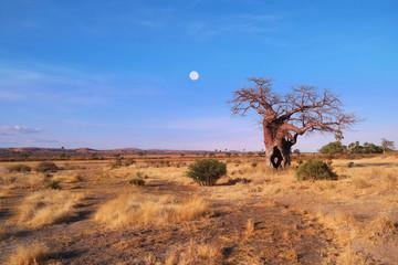 Baobab with moon