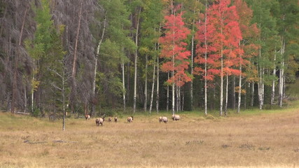 Rutting Elk Herd in Fall Scenic