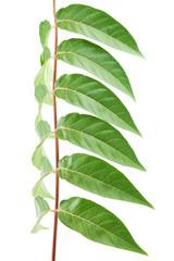 Foliage on a white background