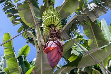 Banana plantation at La Palma, Canary Islands