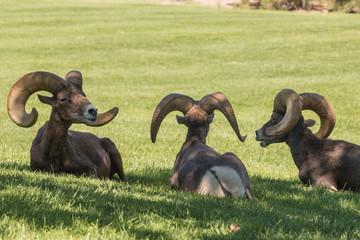 Desert Bighorn Rams Bedded