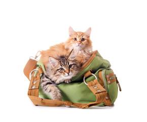 Katzenbabys in der Handtasche