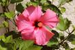 canvas print picture - Hibiscus