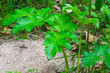 canvas print picture - Green sheet hogweed
