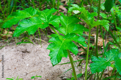 canvas print picture Green sheet hogweed
