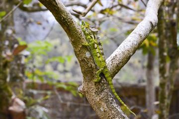 White-lined chameleon (Furcifer antimena) - Rare Madagascar Ende