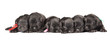 black puppies of Miniature Schnauzer