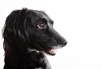 Profilo di cane isolato su bianco