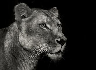 arrogant lioness