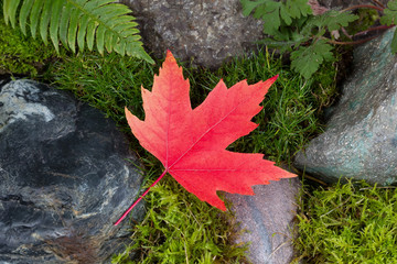 Colorful Maple Leaf on Rocks and Moss