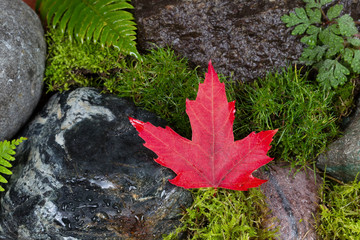 Fallen Red Maple Leaf on Wet Rocks and Moss