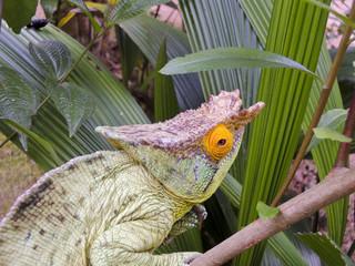 Parson's chameleon (Calumma parsonii) - Rare Madagascar Endemic