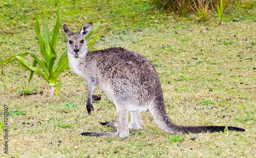 Staande foto Kangoeroe wet kangaroo