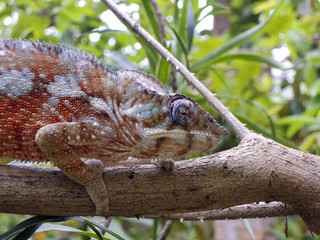 Panther Chameleon (Furcifer pardalis) - Rare Madagascar Endemic