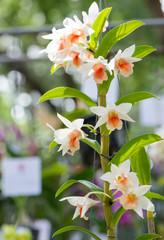 hybrid Dendrobium orchid flower