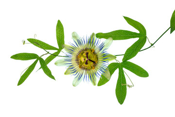 closeup of green passionflower branch with tendrils and flower h