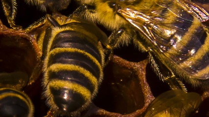 Macro: Honeycomb: Bees Eating Honey