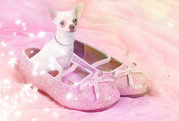 Chihuahua dog in pink glittery shoe