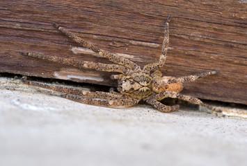 Zoropsis spinimana spider. Mediterraean spider