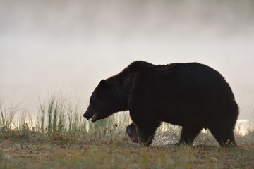 Brown bear walking in taiga