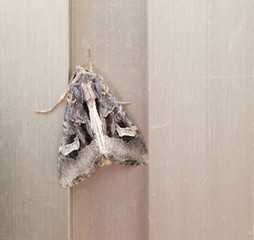 Flame Brocade moth, Trigonophora flammea. European, UK moth.