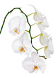 Seven day old white orchid isolated on white background.