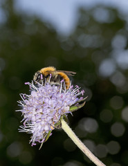 Bombus pascuorum - bumble bee in scabious wild flower