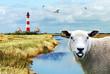 freundliches Schaf, Nordfriesland