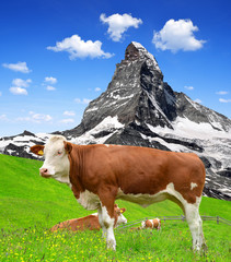 Cow in the meadow.In the background of the Matterhorn.