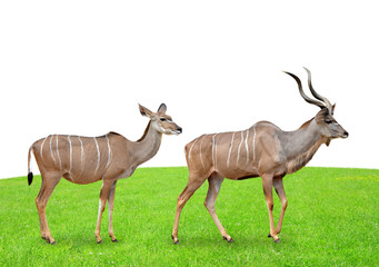 greater kudu on white background