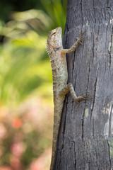 Oriental Garden Lizard (Calotes versicolor) at a tree