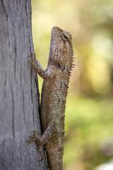 Closeup of an Oriental Garden Lizard (Calotes versicolor)