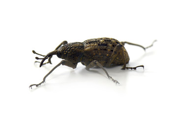 Japanese Giant Weevil