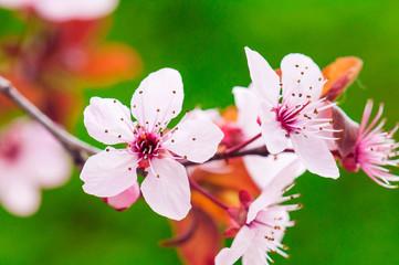 Cherry branch in spring