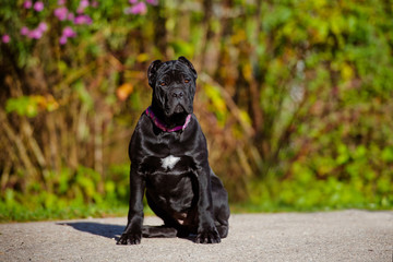 black cane corso puppy sitting outside