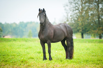 Black friesian horse standing on the pasture