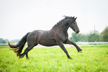 Black friesian horse running on the pasture
