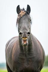 Black friesian horse yawning