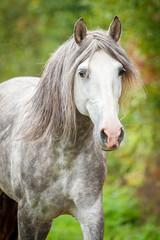 Portrait of beatiful andalusian stallion